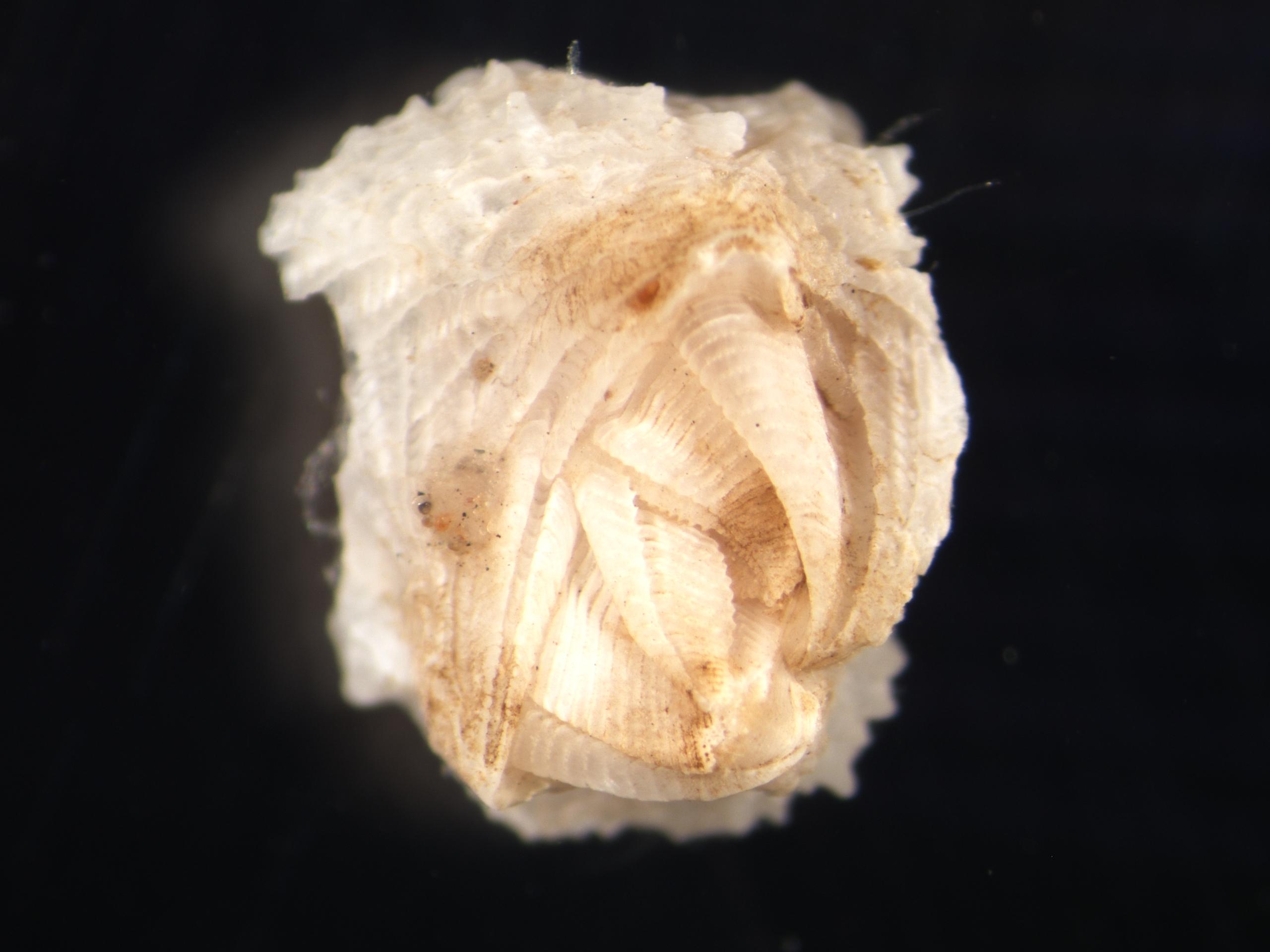 Wart barnacle (Veruca stroemi)